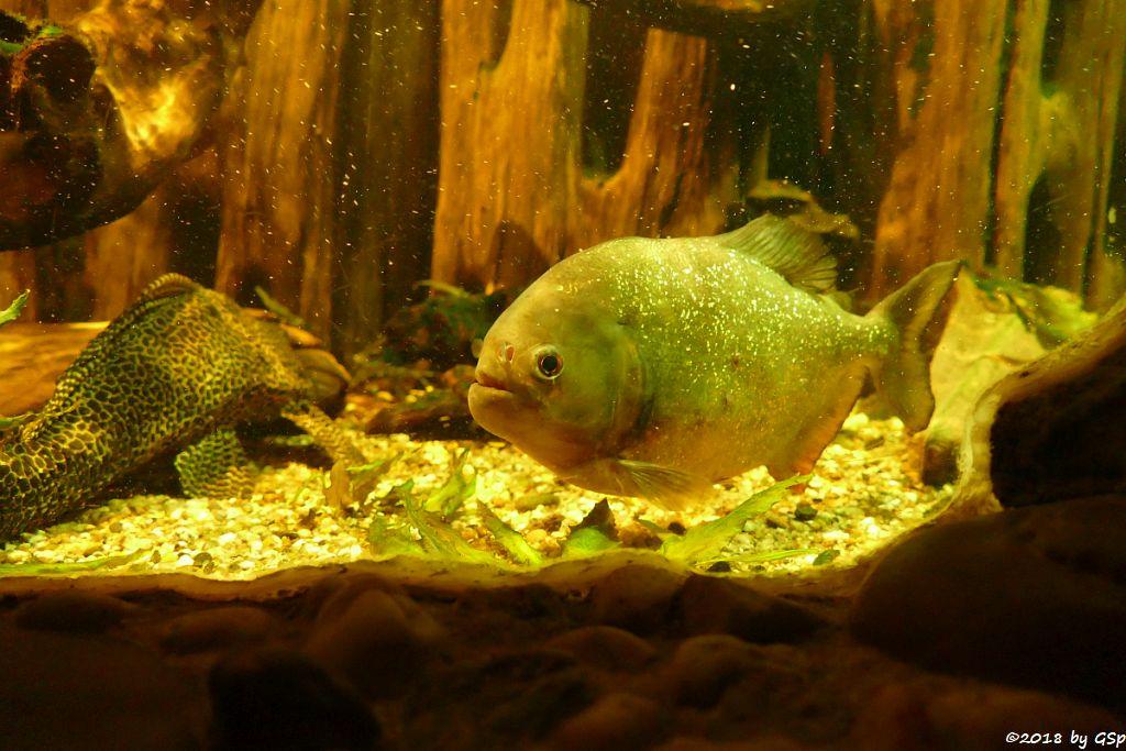 Vielgepunkteter Schilderwels, Roter Piranha (Natterers Sägesalmler)
