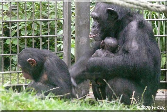 Schimpansin VAKANGA mit PANJA (geb.am 14.7.08 - 4 Wochen alt) und erstgeb.Tochter KISHA