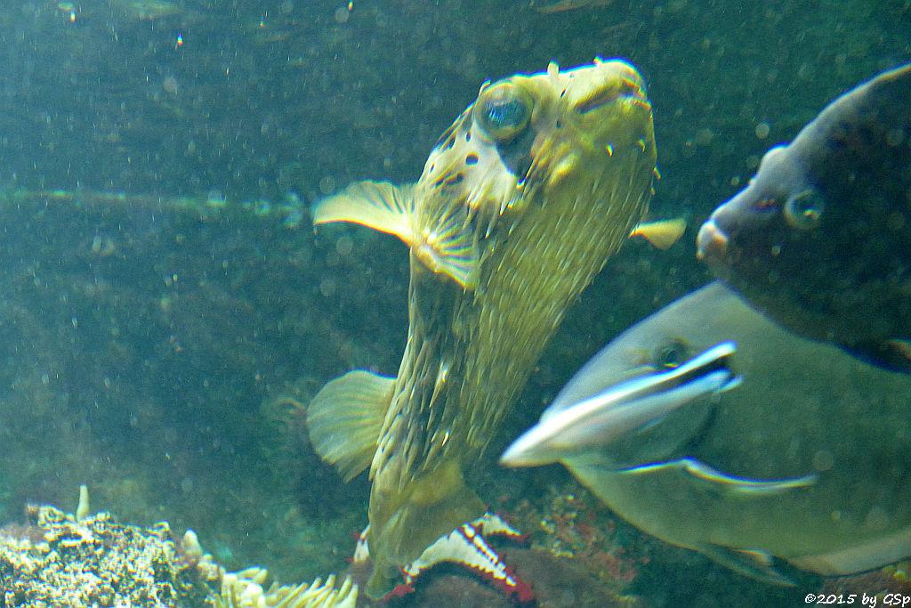 Braunflecken-Igelfisch