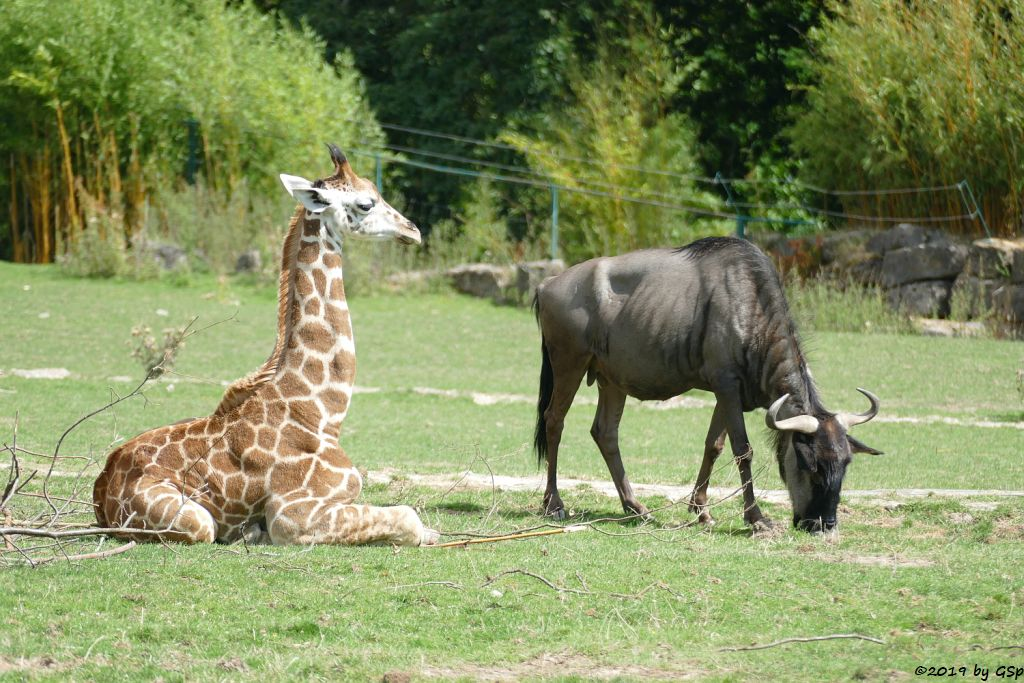 Rothschildgiraffe (Uganda-Giraffe, Baringo-Giraffe), Streifengnu
