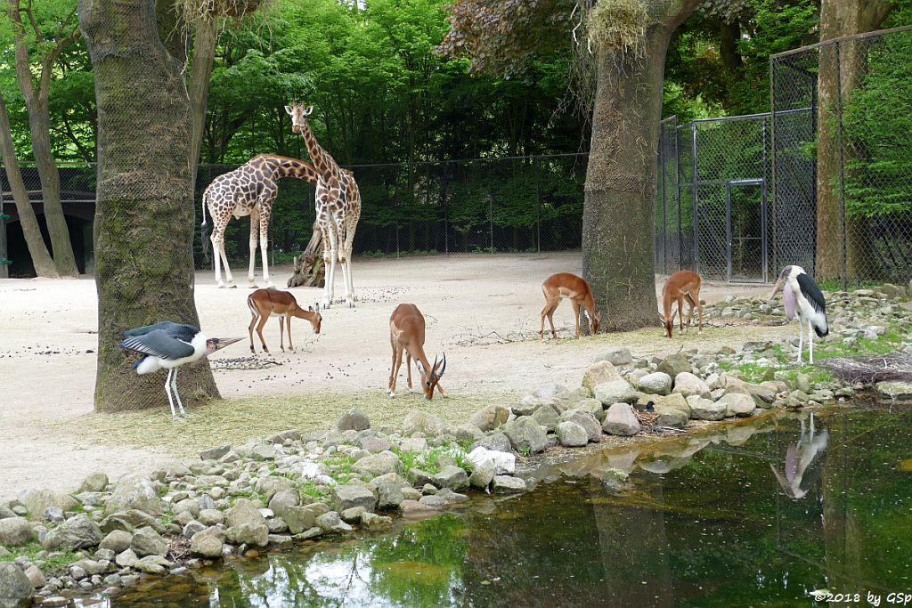 Afrikanischer Marabu, Gewöhnliche Impala (Schwarzfersenantilope, Rothschildgiraffe (Uganda-Giraffe, Baringo-Giraffe)