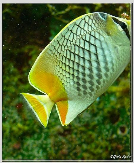 Gitter-Orangefalterfisch