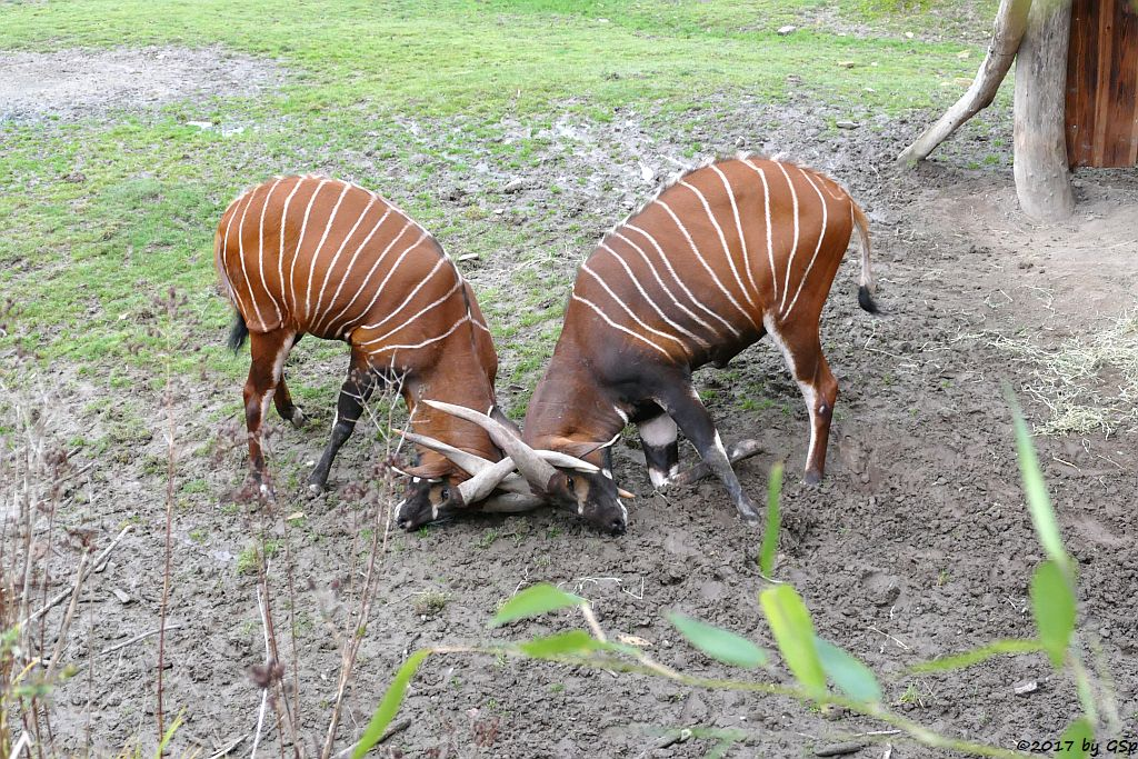 Östlicher Bongo (Kenia-Bongo, Bergbongo)