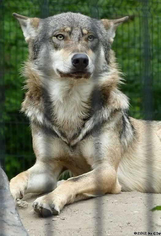 Europäischer Wolf