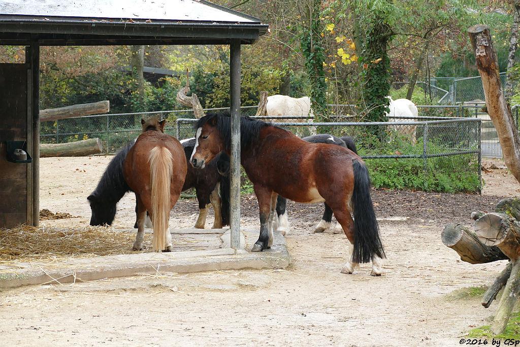 Welsh-Pony, Shetland-Pony