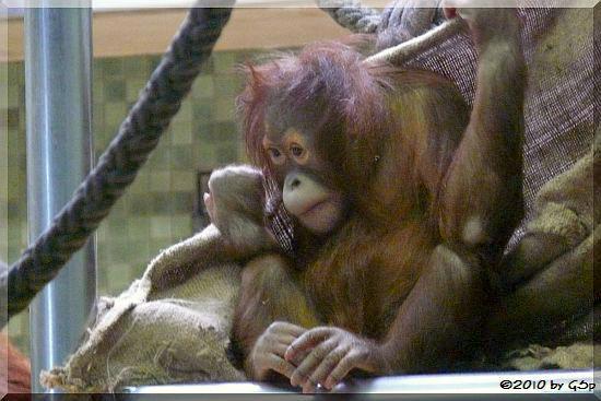 Sumatra-Orang-Utan SATU