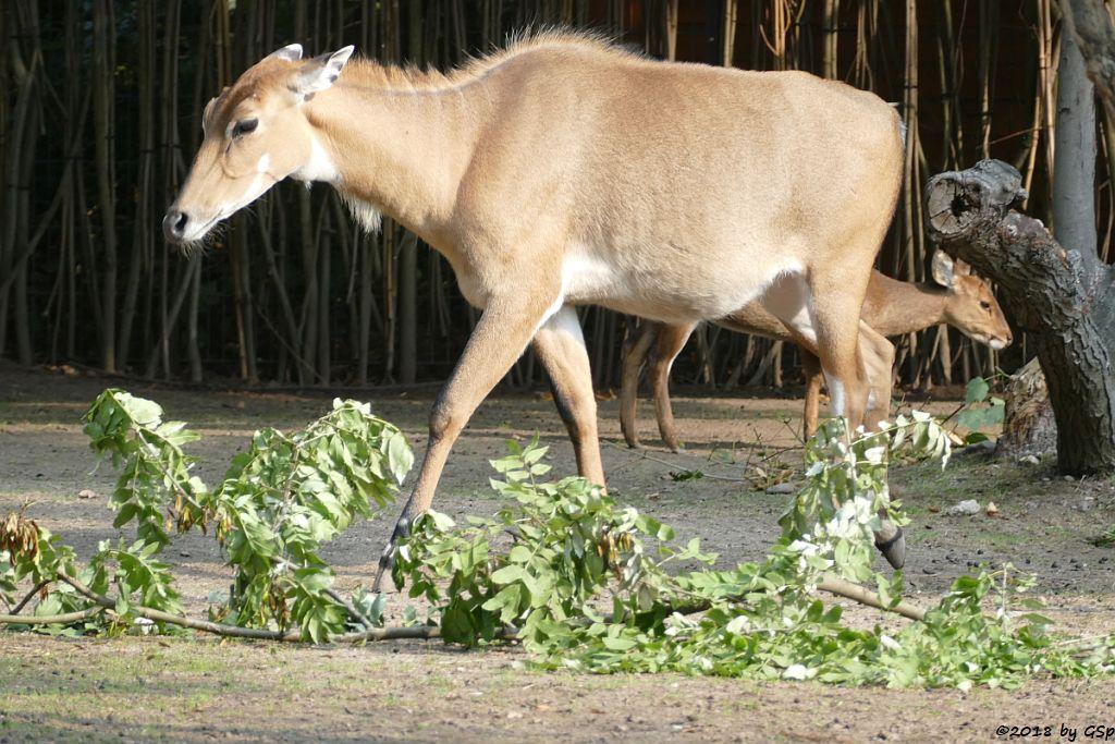 Nilgauantilope (Nilgau), Vorderindischer Schweinshirsch