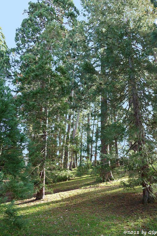 Mammutbaumwädchen