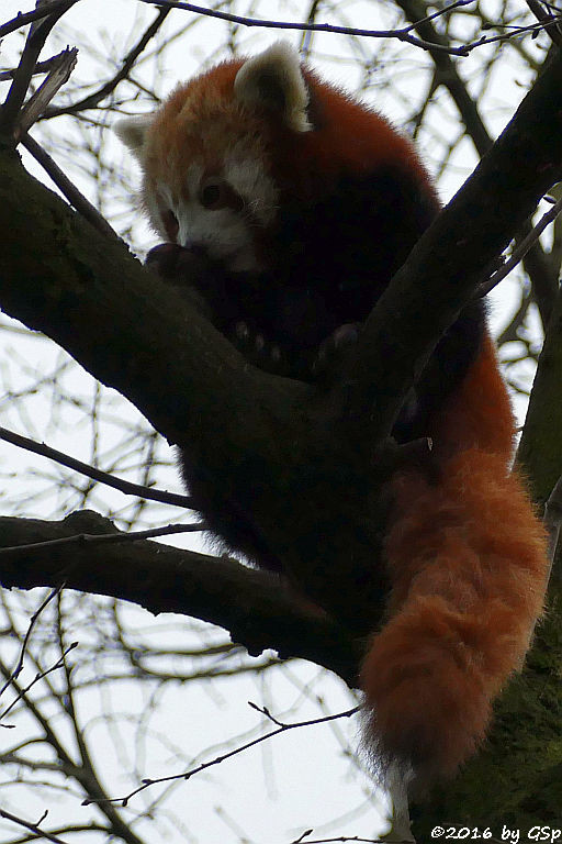 Westlicher Kleienr Panda (Westlicher Katzenbär, Nepalesischer Roter Panda)