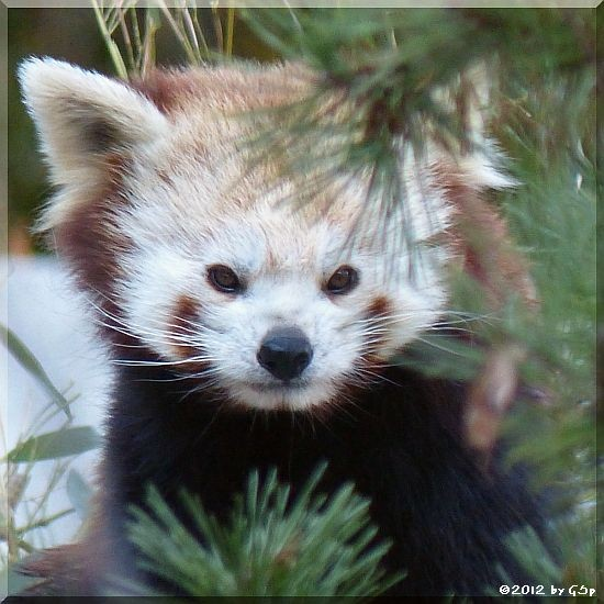 Kleiner Panda - 52 Fotos