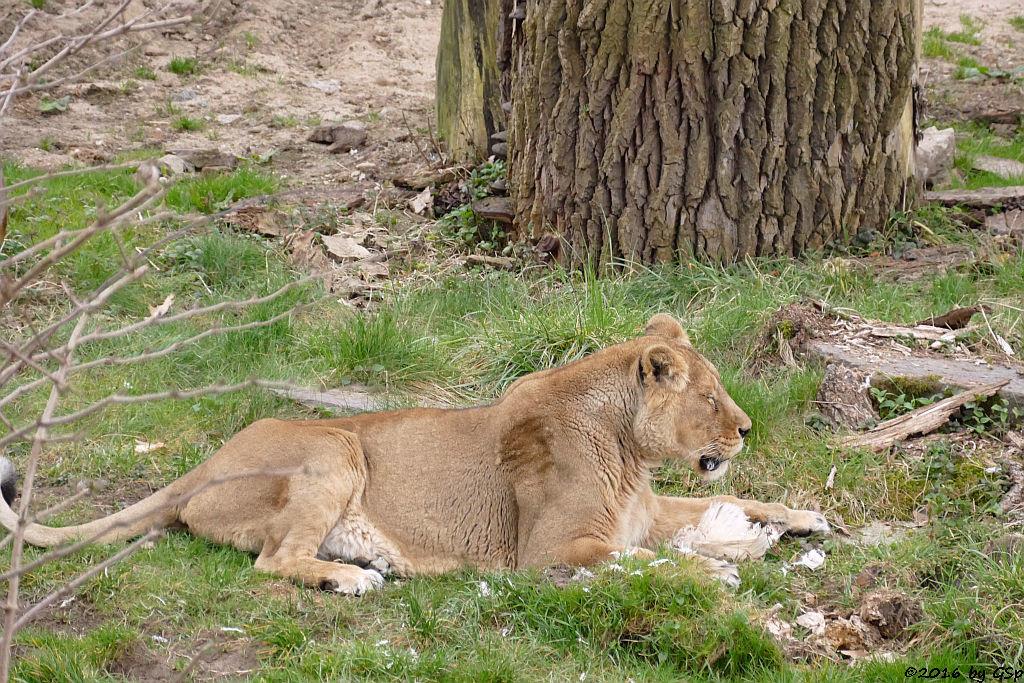 Asiatische Löwin JAMUNA