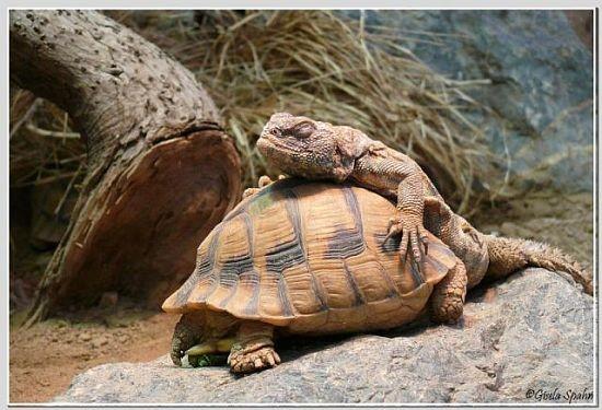 Geschmückte Dornschwanzagame auf Ägyptischer Landschildkröte