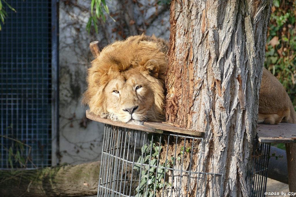Asiatischer Löwe