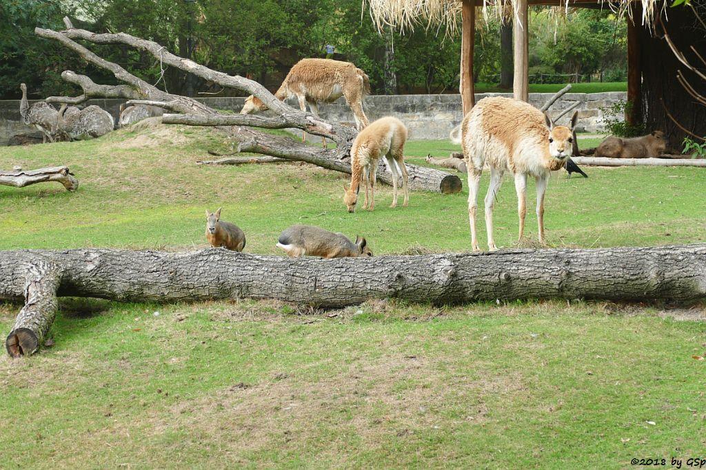 Darwinnandu (Kleiner Nandu, Darwinstrauß), Großer Pampashase (Große-Großer Mara,), Großer Pampashase (Große Mara, Großer Mara), Wasserschwein (Capybara)