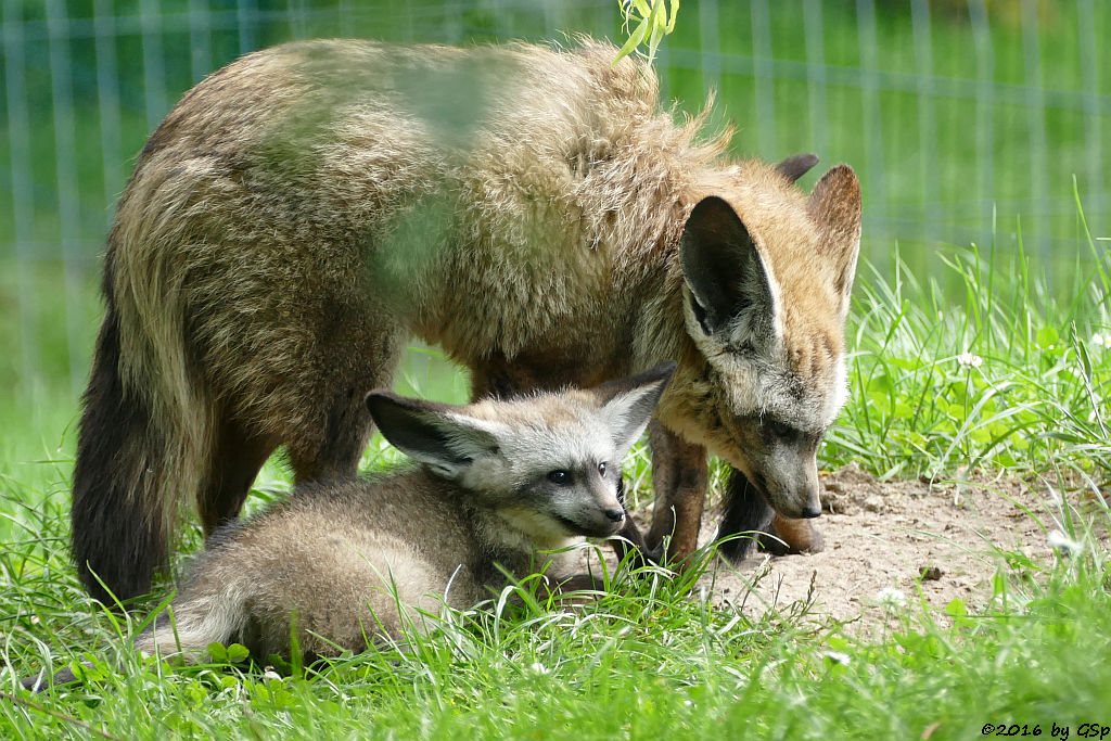 Löffelhund, Jungtiere geb. am 16.5.16