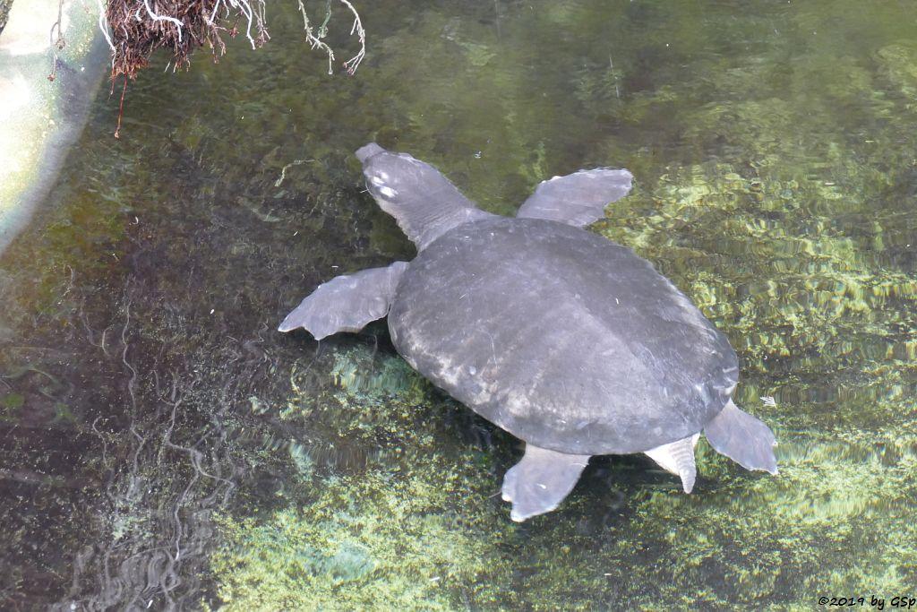 Papua-Weichschildkröte (Neuguinea-Weichschildkröte)