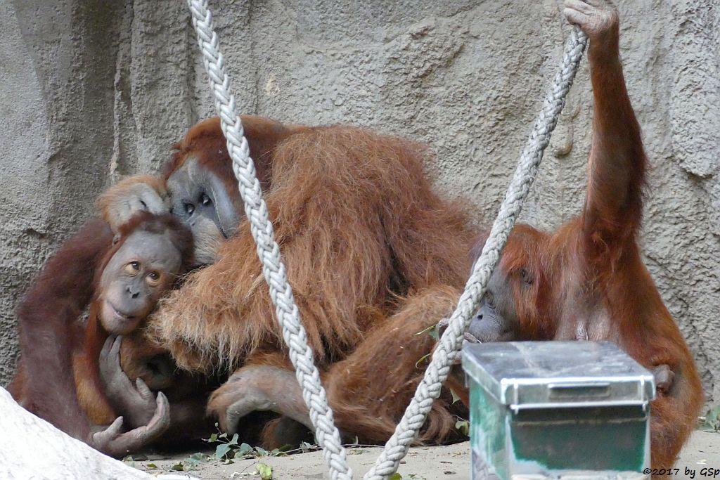 Sumatra-Orang-Utan SUAQ und BIMBO