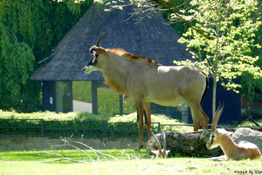 Pferdeantilope, Thomsongazelle