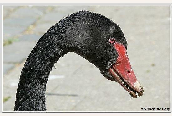 Trauerschwan