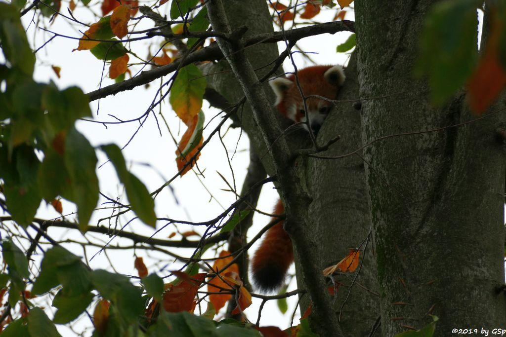 Westlicher Kleiner Panda (Westlicher Katzenbär, Nepaliesischer Roter Panda)