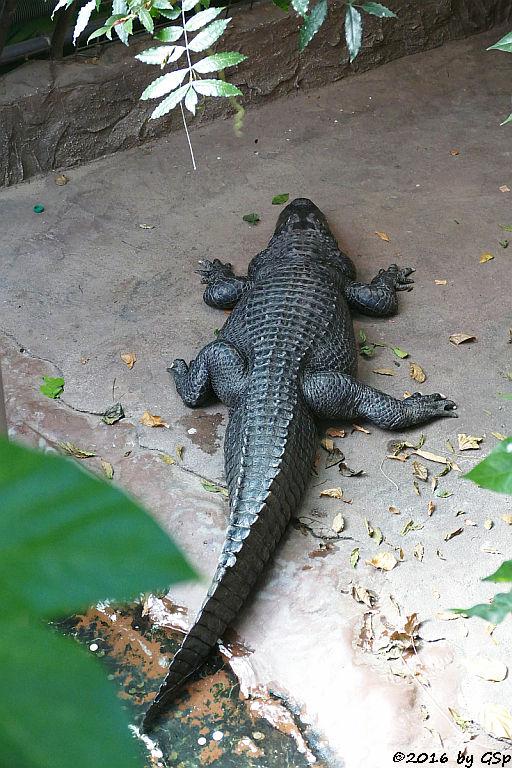 Mississippi-Aligator