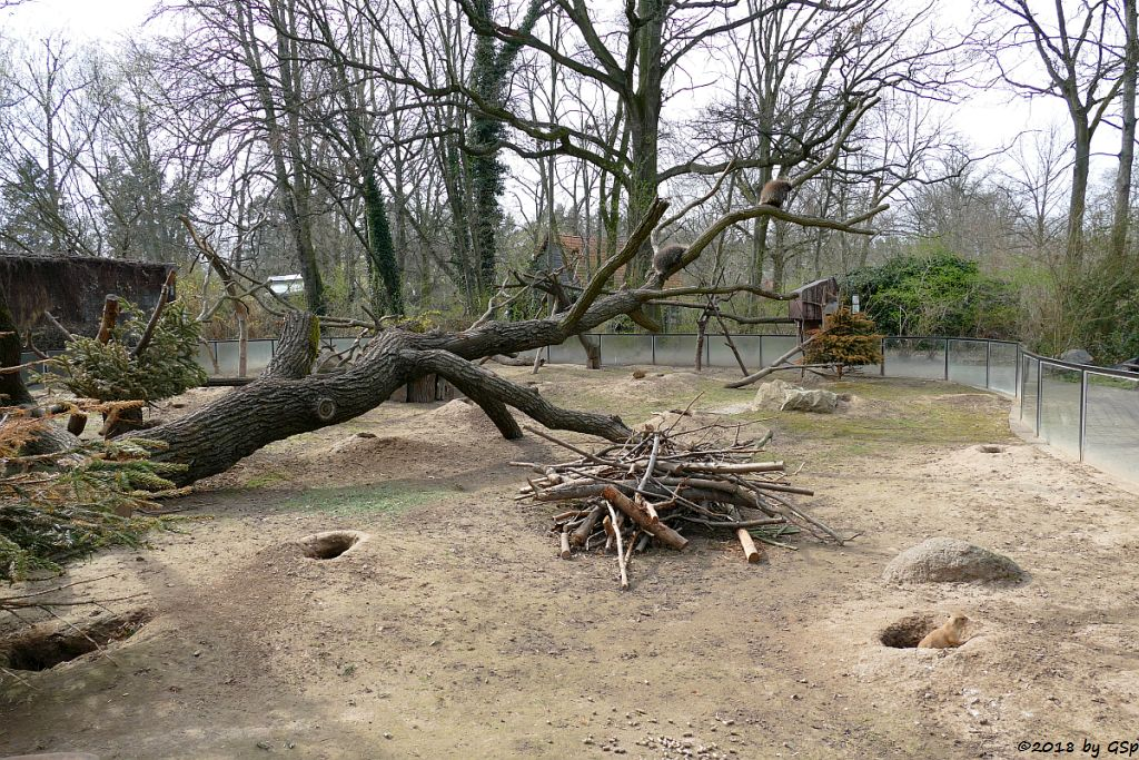 Nordamerikanischer Baumstachler (Urson)