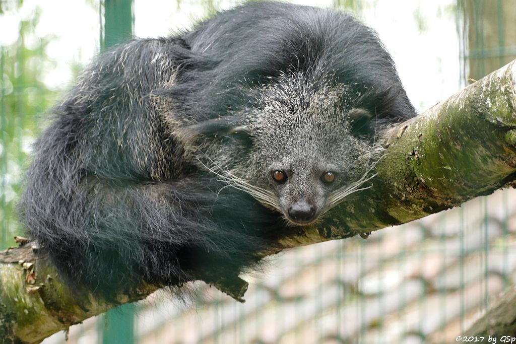 Binturong (Marderbär)