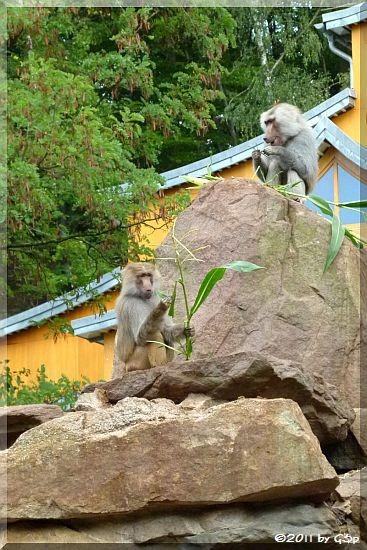 Mantelpavian, im HG Elefantentempel