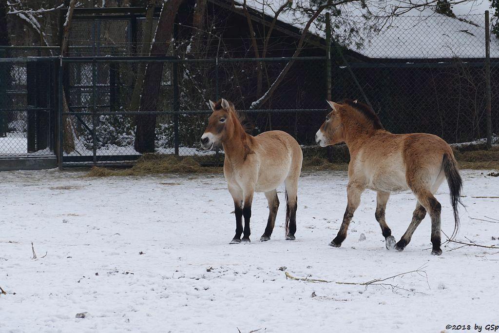 Przewalski-Pferd (Przewalski-Urwildpferd, Asiatisches Wildpferd)