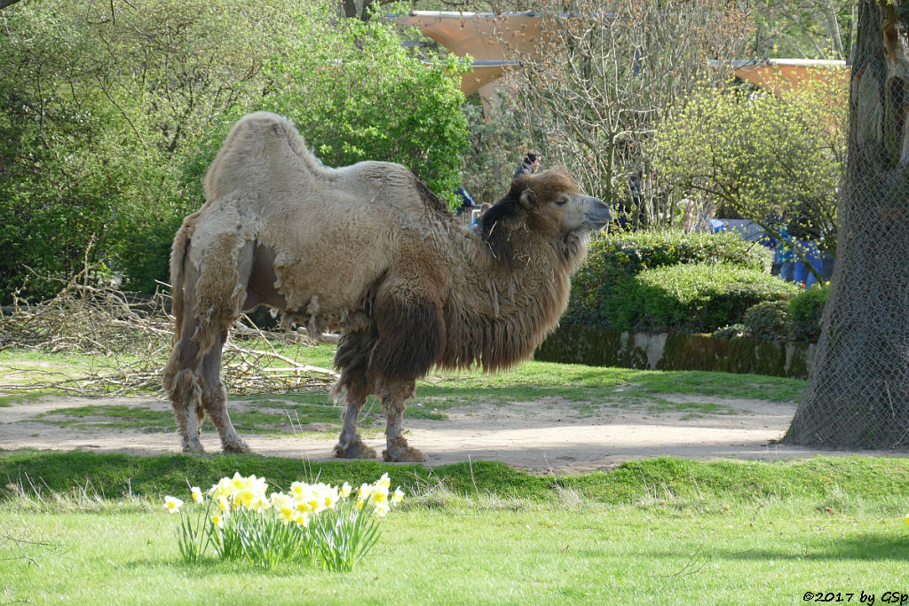 Trapeltier (Zweihöckriges Kamel)