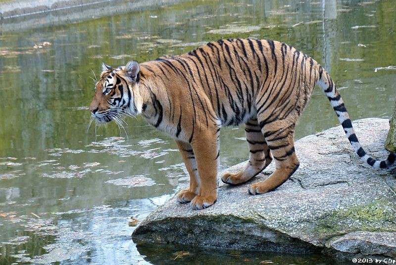 Hinterindischer Tiger