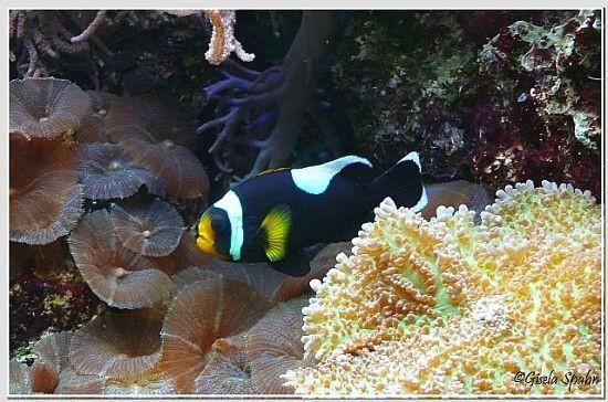 Sattelfleck-Anemonenfisch