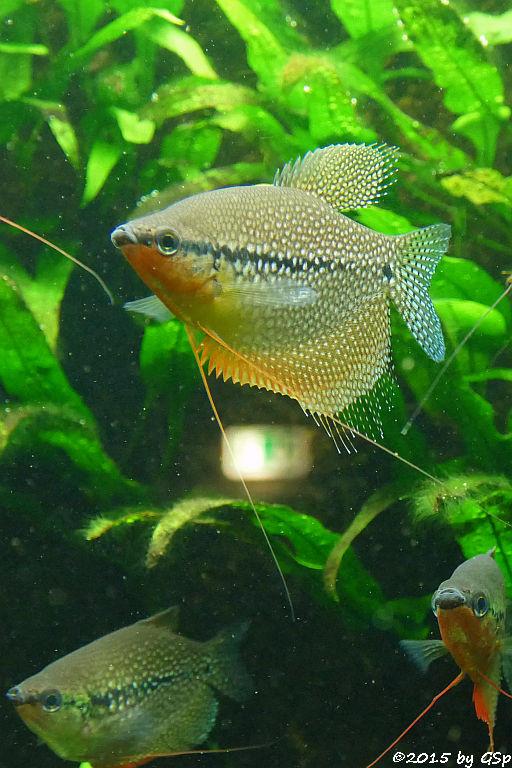 Mosaikfadenfisch