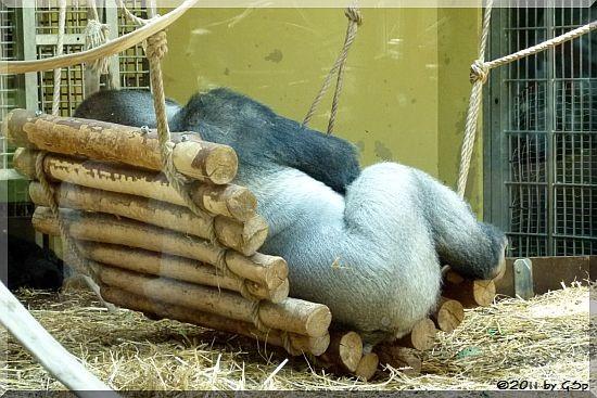 Flachlandgorilla BOBO