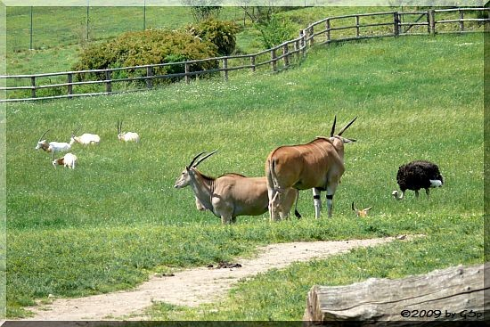 Elenantilope und Blauhausstrauß