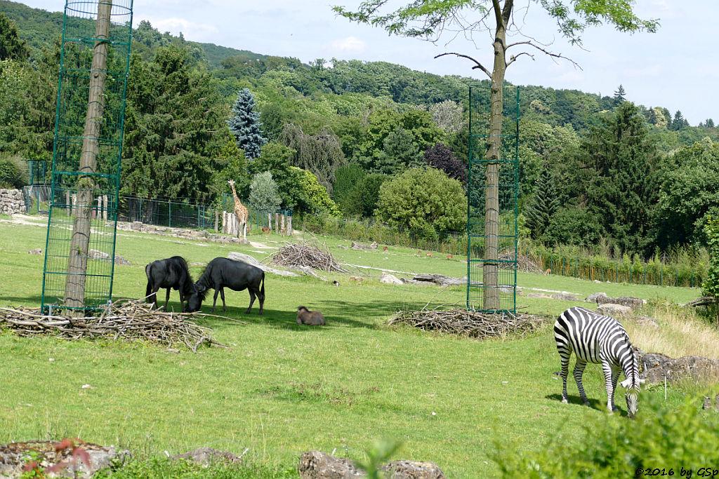 Streifengnu, Jungtier geb. am 14.5.16, Rothschildgiraffe , Impala (Schwarzfersenantilope), Böhm-Steppenzebra (Grantzebra)