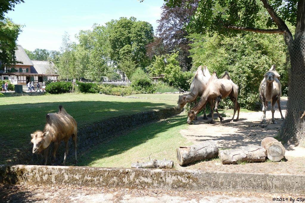Trampeltier (Zweihöckriges Kamel)