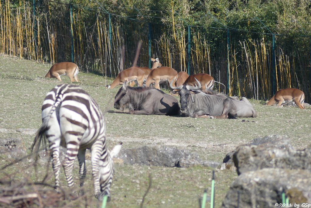 Böhm-Steppenzebra (Grant-Zebra), Südliches Streifengnu (Blaues Gnu), Impala (Schwarzfersenantilope)