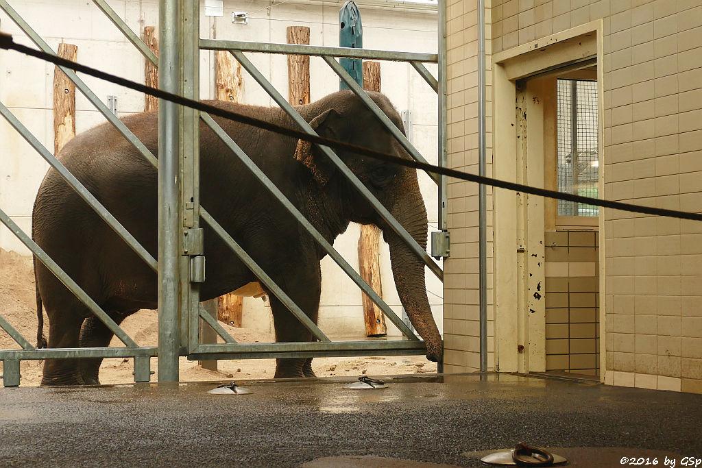 Asiatischer Elefant JENNY