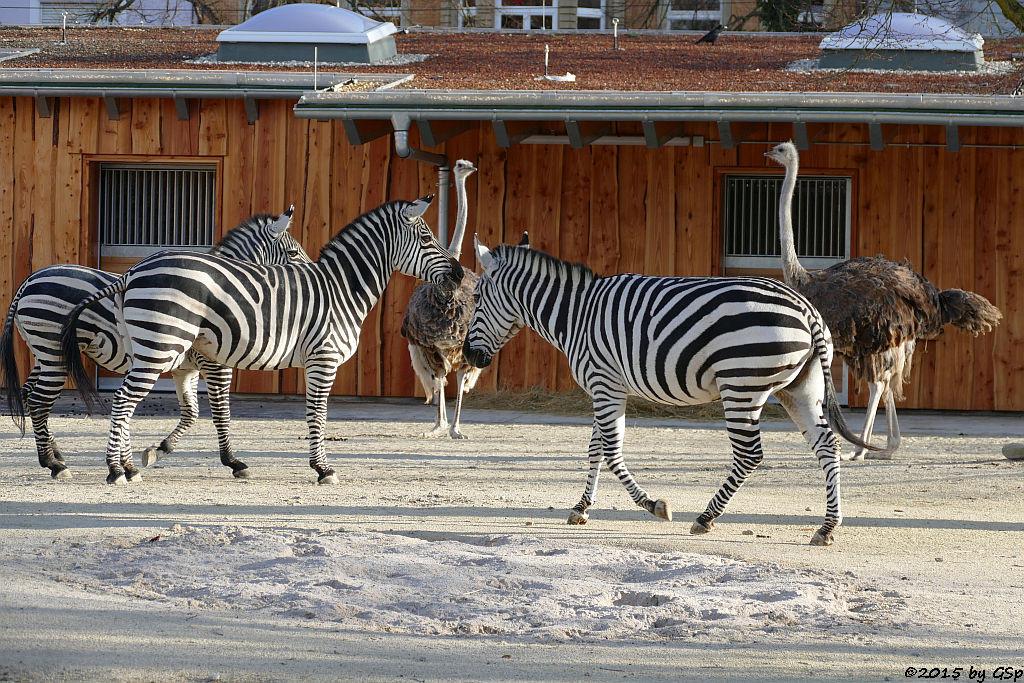 Böhm-Steppenzebra (Granz-Zebra), Blauhalsstrauß