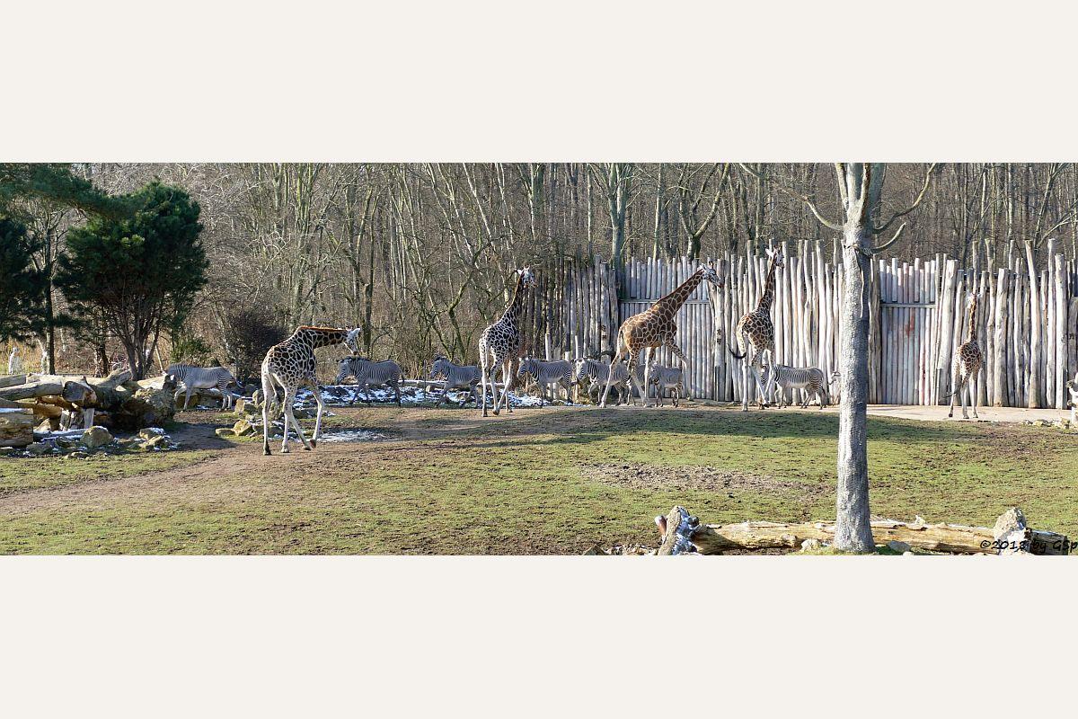 Rothschildgiraffe (Uganda-Giraffe, Baringo-Giraffe), Grévy-Zebra