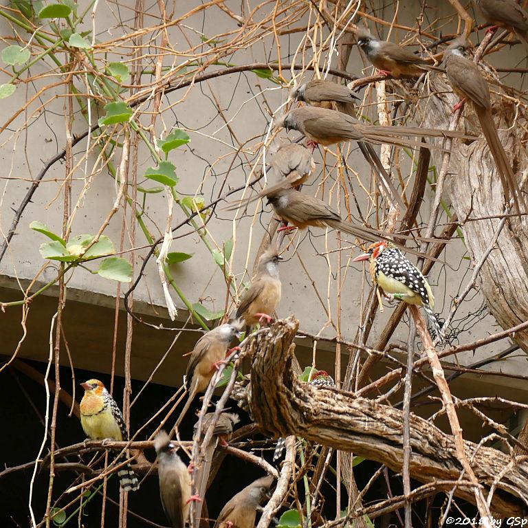 Flammenkopf-Bartvogel, Gestreifter (Braunflügel-) Mausvogel