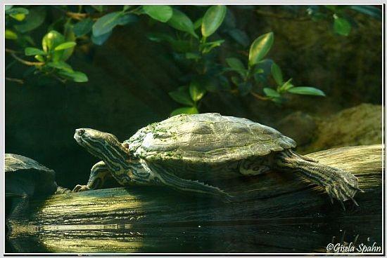 Hieroglyphen Schildkröte