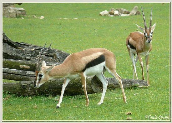 Thomson-Gazelle