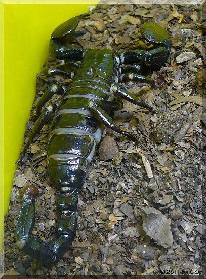 Kaiserskorpion