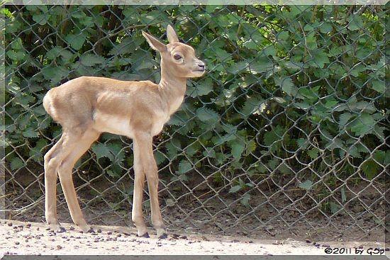 Hirschziegenantilope, geb. am 14. April 2011
