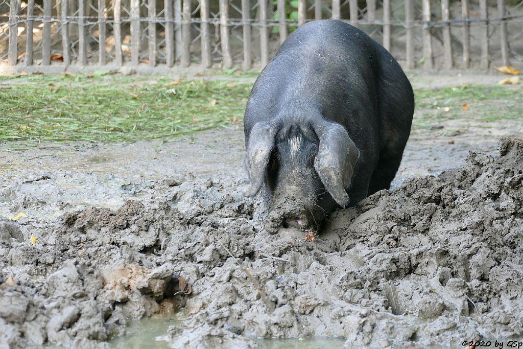 Angler Sattelschwein