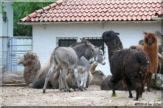 Trampeltier, Zwergesel, Alpaka
