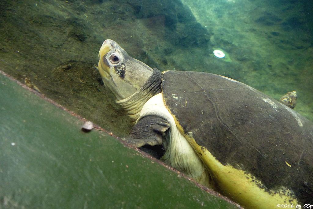 Borneo-Flusschildkröte