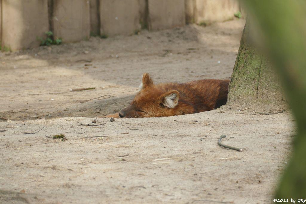 Asiatischer Wildhund (Rothund)